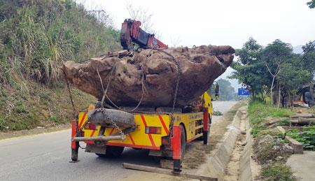 Khối lượng lớn gỗ nghi Gù Hương có nhiều dấu hiệu bất thường đã bị lực lượng chức năng phát hiện.