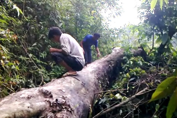 Cây bị đốn hạ không thương tiếc tại rừng Cao Bằng(ảnh cắt từ clip).