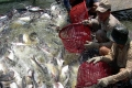 Người nuôi, doanh nghiệp lao đao vì cá tra rớt giá