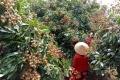 Giải pháp hỗ trợ tiêu thụ nông sản cho nông dân Hậu Giang