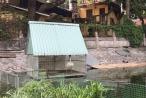 Đàn Thiên nga nuôi ở hồ Thiền Quang đã đẻ trứng