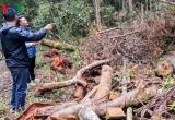Kiểm lâm thuê người cưa cây để bảo vệ rừng: Vì đâu nên nỗi?