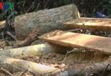UBND tỉnh Quảng Ngãi chỉ đạo xử lý nghiêm vụ phá rừng phòng hộ Trà Veo