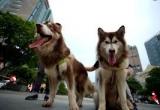 Hà Nội: Người nuôi chó, mèo bắt buộc phải đăng ký