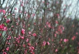 Đào Nhật Tân bung nở trong gió rét