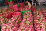 Bình Thuận: Nông dân trồng thanh long bớt lo vì giá ổn định