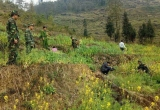 Hà Giang: Thu giữ hơn 1000 cây thuốc phiện trồng xen rau cải và đậu Hà Lan