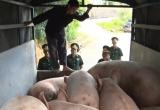 Hà Giang: Bắt giữ đàn lợn nhập lậu từ Trung Quốc về Việt Nam tiêu thụ