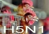 Cà Mau phát hiện một trường hợp nghi nhiễm cúm A/H5N1