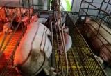 Dịch tả lợn châu Phi đã lan ra 17 tỉnh, thành phố của Việt Nam