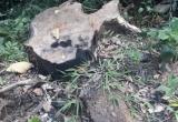 Khởi tố vụ 4 cây gỗ hương cổ thụ ở Gia Lai bị đốn hạ