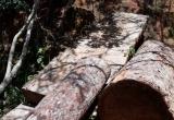 Lâm Đồng: Khởi tố vụ khai thác gỗ thông cổ thụ