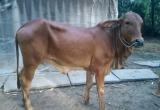 Kỳ án phải bồi thường thiệt hại vì bò bán nhưng không chịu đẻ