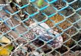 Bẫy rắn hổ mang bằng cóc độc ở Tuyên Quang: Kết quả bất ngờ!