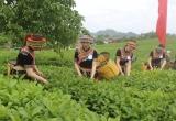 Mộc Châu: Chè thanh sạch, sữa mát lành