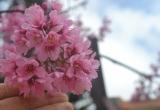 Hoa mai anh đào bắt đầu tô hồng các cung đường Đà Lạt