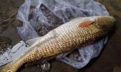 Khánh Hòa: Bắt được cá sủ vàng quý hiếm trong lúc đi biển