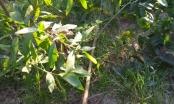 Xác định 1 nghi can nhẫn tâm chặt phá vườn keo hàng ngàn gốc của người dân