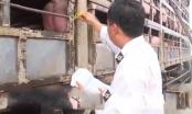 Đình chỉ cán bộ kiểm dịch cấp giấy chứng nhận cho lợn bệnh