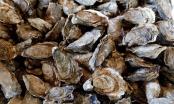 New York làm sạch biển bằng 1 tỷ con hàu