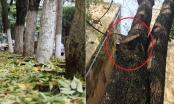 Bí ẩn dần hé lộ sau sự việc hàng cây sưa bất ngờ rụng lá dày đặc tại Thủ Đô