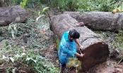 Kon Tum: Chở gỗ lậu trong rừng, người đàn ông bị gỗ đè chết