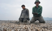 """Hà Tĩnh: Ngao chết trắng, dân xót xa nhìn hàng chục tỷ đồng """"phơi xác"""" trên bãi biển"""
