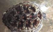 Nghệ An: Rùa biển quý hiếm nặng 11 kg được thả về với biển