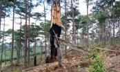 """Rừng Lâm Đồng vẫn bị 'xẻ thịt"""" trong khi chờ thu hồi"""