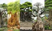 Lùng sục các siêu cây bạc tỉ trong giới sinh vật cảnh Việt Nam