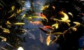 Chuyện lạ - Người đàn ông chi 10 tỷ nuôi cá koi