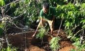 Phát hiện hơn 100 cây cần sa trong rẫy cà phê của người dân