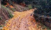 Hà Giang: Sau đợt mưa kéo dài, cam sành rụng như sung
