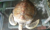 Mua được rùa biển quý hiếm nặng 30 kg, chủ nhà hàng chăm sóc để thả về biển