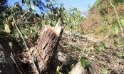 Mật phục bắt giữ 3 đối tượng phá rừng ở Đà Lạt