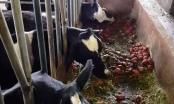 Lâm Đồng: Đàn bò sữa bị sét đánh chết tại chuồng