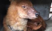 Chó Sói đỏ quý hiếm được người dân tự nguyện giao nộp cho cơ quan chức năng