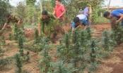 Phát hiện 2 hộ gia đình trồng hàng trăm cây cần sa