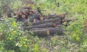 Nghệ An: Rừng thông hơn 20 năm tuổi bị chặt hạ, công an vào cuộc