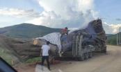 """Xe chở cây """"siêu khủng"""" vẫn ung dung lăn bánh ra khỏi địa bàn Nghệ An"""