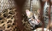 """Kịp thời giải cứu một cá thể """"Cẩm Miêu"""" loài mèo rừng quý hiếm"""