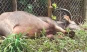 Đắk Nông: Trâu đực đi lang thang húc 5 người bị thương