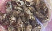 Đã xác định loại ốc gây ngộ độc làm 1 người chết ở Khánh Hòa