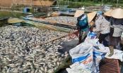 Điện Biên: Hàng chục tấn cá lồng chết trắng trên hồ Hồng Khếnh