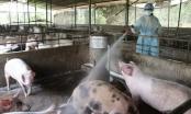 Nóng: Dịch tả lợn châu Phi bùng phát ở Thái Bình