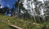 Khởi tố đối tượng phá rừng thông ở Lâm Đồng