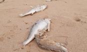 Cá chết hàng loạt dạt vào bãi biển ở Nghệ An