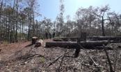 Lâm Đồng: Xử lý trách nhiệm đối với người đứng đầu đơn vị chủ rừng