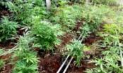 Gia Lai: Phát hiện đối tượng trồng số lượng lớn cây cần sa trong vườn nhà.