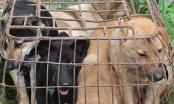 Nghệ An: Bắt nhóm đối tượng trộm chó chuyên nghiệp